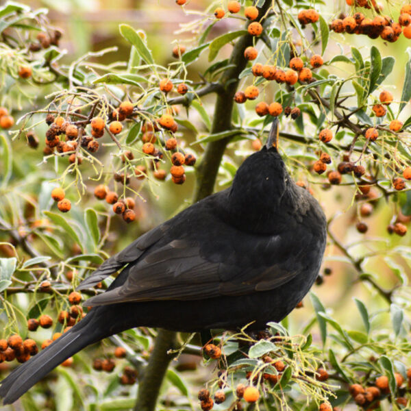 Blackbird in Pyracantha (Firethorn) Bush