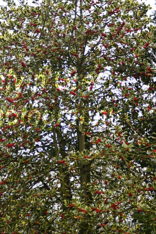 Holy Tree (Ilex) in Flower