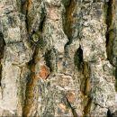 Acer platanoides, Norway Maple, vaahtera