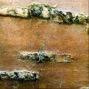 Betula alleghaniensis, Yellow Birch, keltakoivu