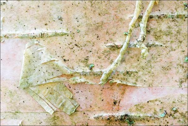 Betula pendula, Silverbirch, rauduskoivu