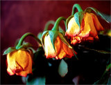 Bowing roses