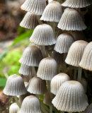Coprinus disseminatus, Fairies bonnets (parvimustesieni)