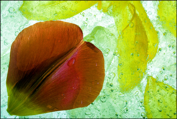 Tulip petals (Ice Flowers #57)