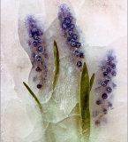 Ice Flowers #25