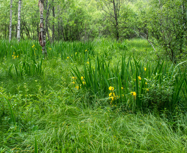 Irises in Wetland