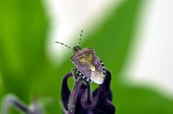 Sloe Bug (Dolycoris baccarum), marjalude