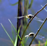 Pair of dragonflies