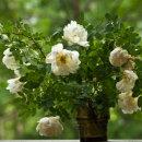 Rosa pimpinellifolia (Burnet rose), juhannusruusu