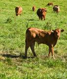 Limousine cattle