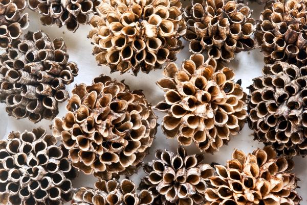 seed pods of globe flower(Trollius europaeus)