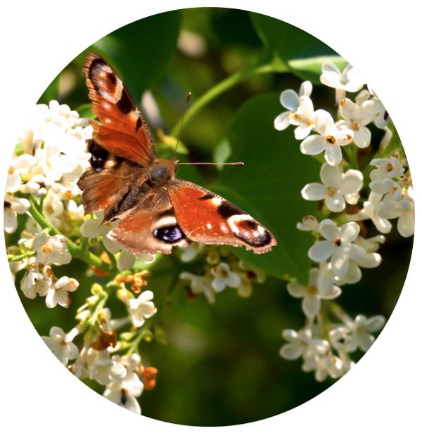 Peacock butterfly (Aglais io), neitoperho