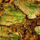 Pseudotsuga menziesii, Douglas-fir, douglaskuusi