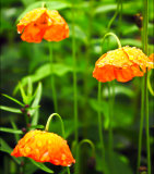 Poppies after Rain