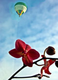 Orchid and hot air balloon