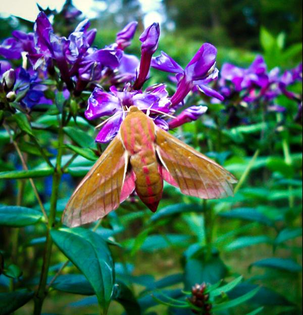 Elephant Hawk-moth, Deilephila elpenor