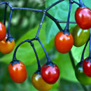 Solanum dulcemara berries