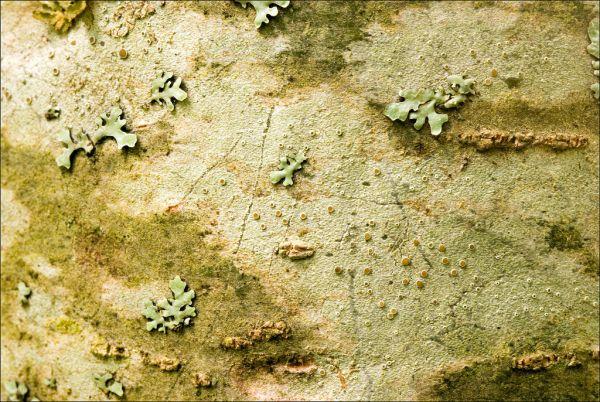 Pinus cembra, Cembra pine, sembramänty