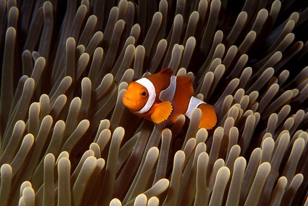 Clown fish, Flores