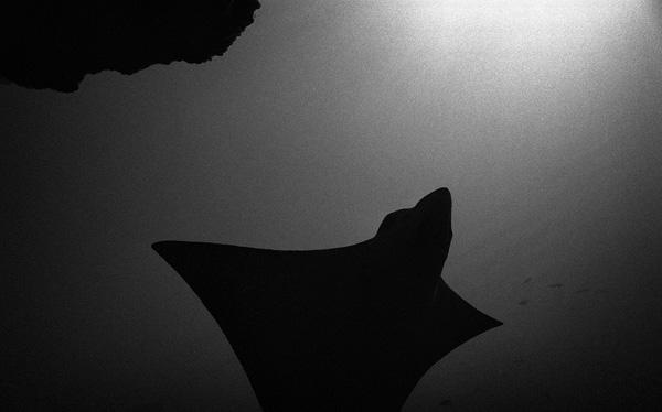 Eagle ray, Galapagos