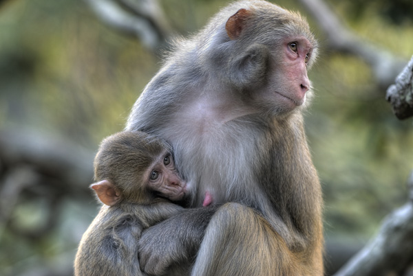 Macaque & young