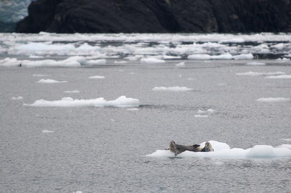 Seals on ice float