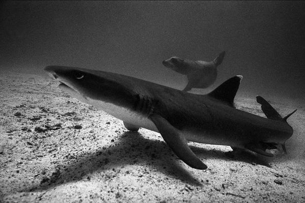 Shark and young sea lion, Galapagos