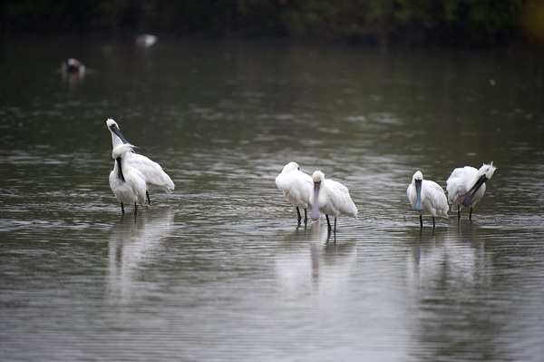 The endangered Black-faced Spoonbill