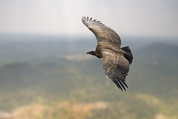 Vulture riding the thermals