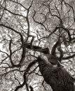 Sweet chestnut limbs
