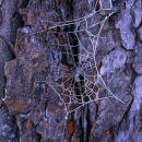 Frosty cobweb