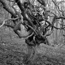 Gnarled hawthorn