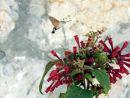 Hummingbird hawk moth (macroglossum stallatarum)