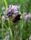 Bumble bee on lavendar