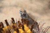 Cynomy...Prairie dog