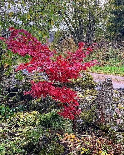 Acer palmatum in red colors