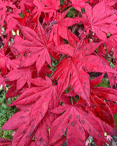 Acer palmatum leafs in autumn colors