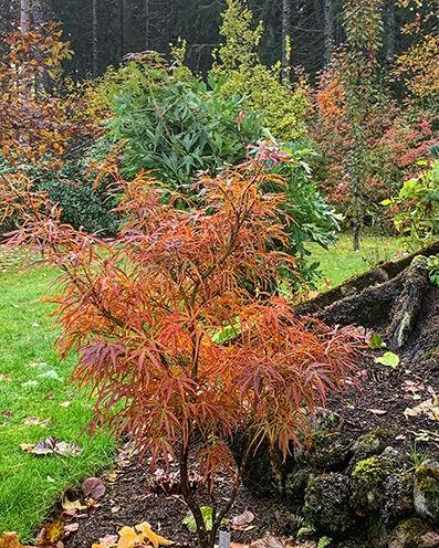 Acer palmatum in autumn colors