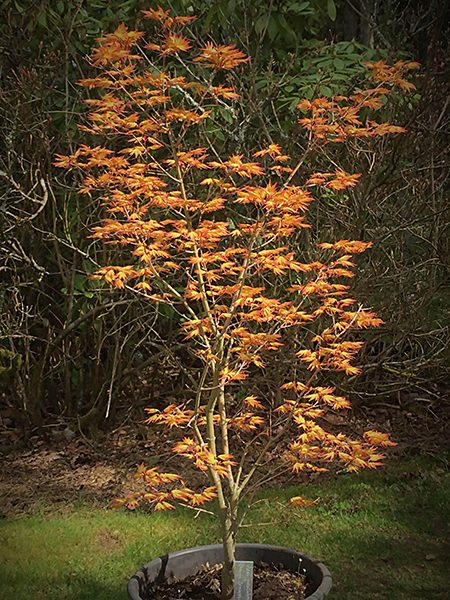 Acer palmatum, Orange dream
