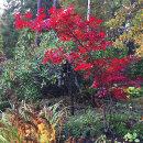 Acer palmatum, Atropurpureum