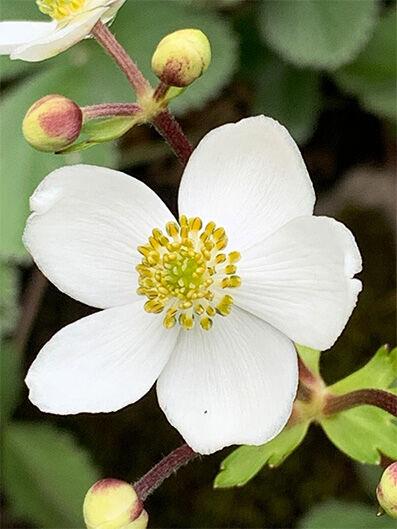 Anemone rivularis