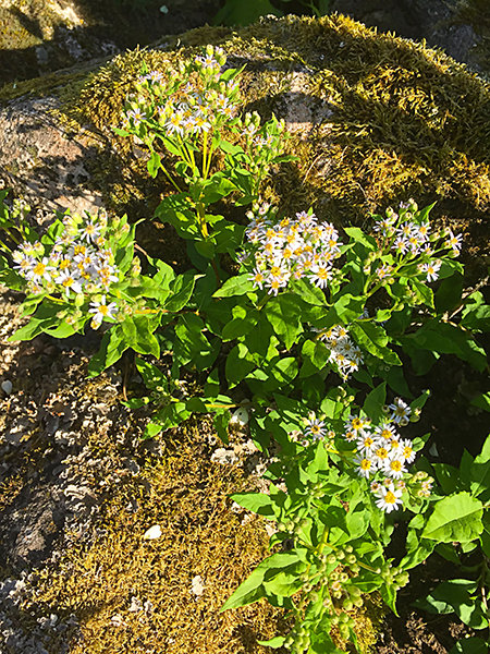 Aster, Chadwell coll.