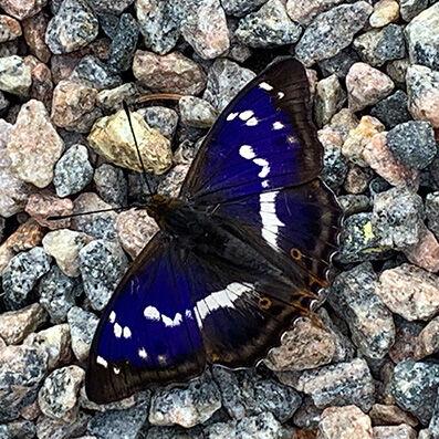 Sälgskimmerfjäril, Apatura iris