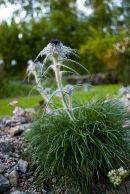 CC 4844 Saussurea graminifolia