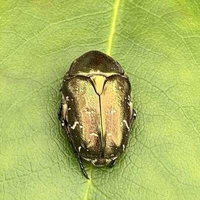 Cetoniidae Guldbagge