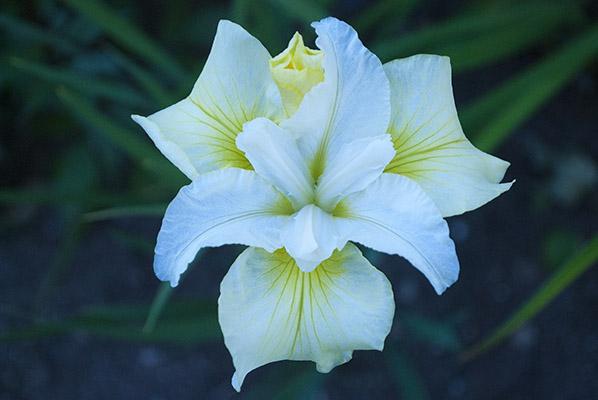 iris sibirica white swirl