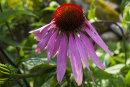 Echinacea Prairie Splendor