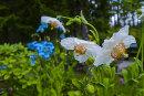 Meconopsis betoncifolia,alba