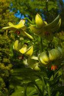 Lilium (Lilja)