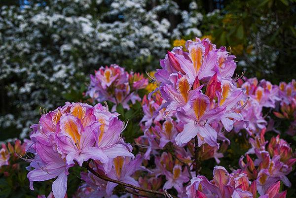 Rhododendron (azalea)